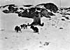 Photograph of an Inuk boy training husky puppies, Port Burwell, Quebec, November 1927