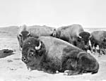 Photograph of buffalo on the prairies, circa 1902