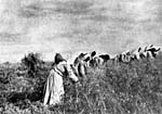 Photograph of women using sickles to cut the wheat crop on the Canadian prairies, circa 1899