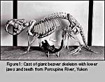 Photograph of a cast of giant beaver skeleton with lower jaws and teeth