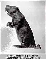 Photograph of a model of a giant beaver