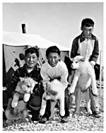 Photograph of three young Inuit boys holding white huskies