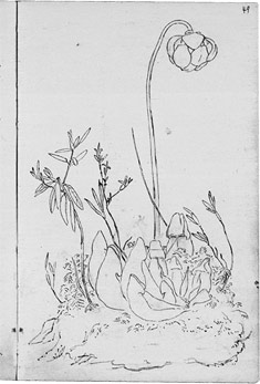 Page from William Logan's journal showing a sketch of a plant