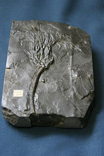 Photograph of a crinoid fossil (animal related to the starfish)