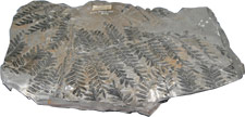 Photograph of fossilized fern leaves