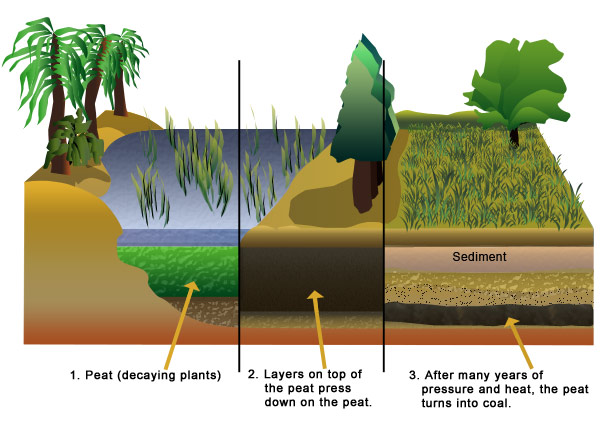Diagram of how trees become coal. Legend: 1. Peat (decaying plants). 2. Layers on top of the peat press down on the peat. 3. After many years of pressure and heat, the peat turns into coal.