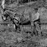 Black and white photograph of two men and a horse plowing a garden