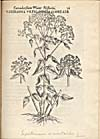 Engraving from book, Engraving from book,IAC. CORNVTI DOCTORIS MEDICI PARISIENSIS CANADENSIVM PLANTARVM [. . .]