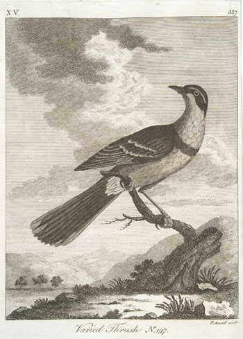 Engraving from book, ARCTIC ZOOLOGY