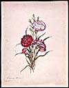 Water colour, CARNATIONS, by Susanna Moodie