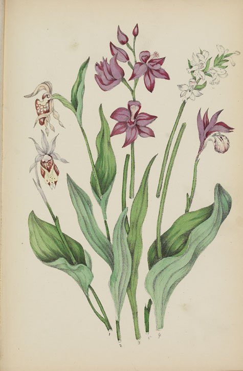 Water colour, ORCHIS, by Agnes FitzGibbon Chamberlin from book, STUDIES OF PLANT LIFE IN CANADA, OR, GLEANINGS FROM FOREST, LAKE AND PLAIN, by Catharine Parr Traill. First edition, Ottawa: A.S. Woodburn, 1885