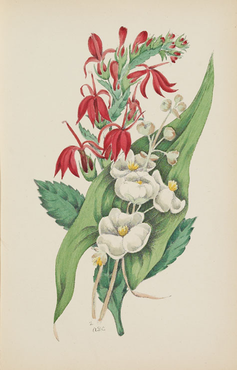 Aquarelle LOBELIA d'Agnes FitzGibbon Chamberlin, tirée du livre STUDIES OF PLANT LIFE IN CANADA, OR, GLEANINGS FROM FOREST, LAKE AND PLAIN de Catharine Parr Traill. Première édition, Ottawa : A. S. Woodburn, 1885
