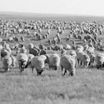 Photograph of sheep herding, Cypress Hills, Alberta, early 1900s