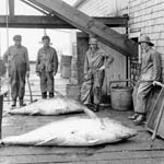 Photograph of four men standing over two tuna on a wharf beside a wooden building, near Lockport, Nova Scotia, circa 1939