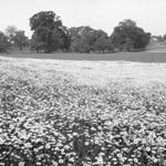 Photograph of a field of daisies, with trees in the background, date unknown