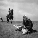 Photograph of a woman examining the front legs of a calf while a man behind her on horseback holds a rope that is attached to the calf's hind legs, near Medicine Hat, Alberta, 1944