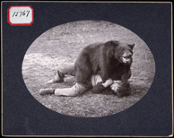 Photograph of a man lying on the ground wrestling with a trained black bear, circa 1902